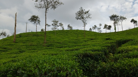 Tea Plantations of Wayanad