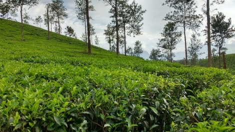 Tea Plantations of Wayanad