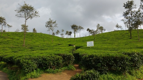 No guidebook mentioned the beautiful tea plantation