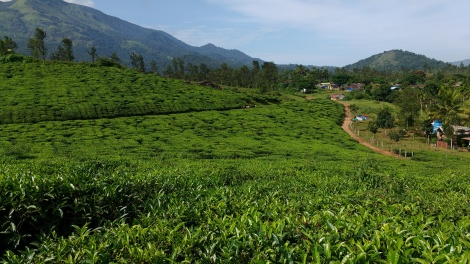 Wayanad tea, anyone?