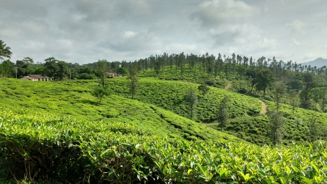 Lush green tea plantation.