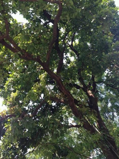 Mahua tree
